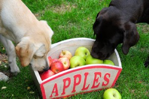 bigstock-Inquisitive-Puppies-3375210