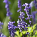 bigstock-Lavender-flowers--12807500