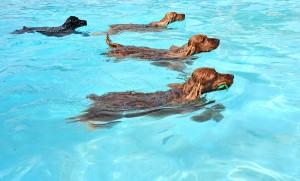 bigstock-Swimming-Dogs-5461555