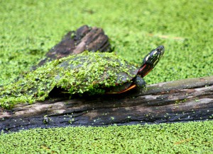 easter-painted-turtle-reptile-chrysemys-picta-picta