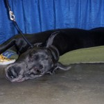 tired great dane
