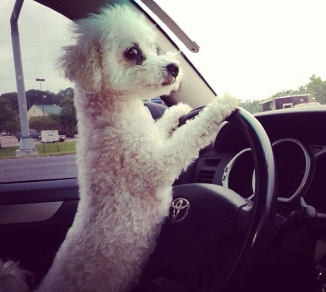 dog-driving-car